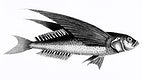 """Oceanic flying fish from Zoological lectures delivered at the Royal institution in the years 1806-7 illustrated by <a href=""""https://www.rawpixel.com/search/George%20Shaw?sort=curated&amp;rating_filter=all&amp;mode=shop&amp;page=1"""">George Shaw</a> (1751-1813). Original from The New York Public Library. Digitally enhanced by rawpixel."""