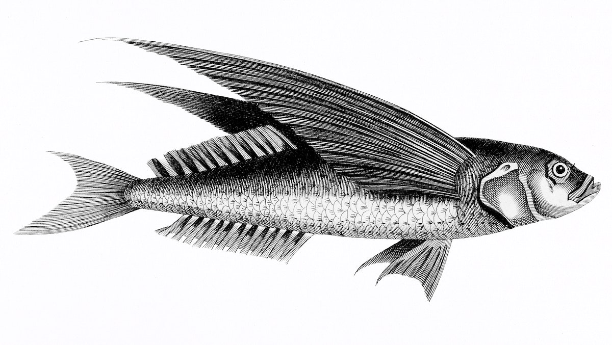 Oceanic flying fish from Zoological lectures delivered at the Royal institution in the years 1806-7 illustrated by George…