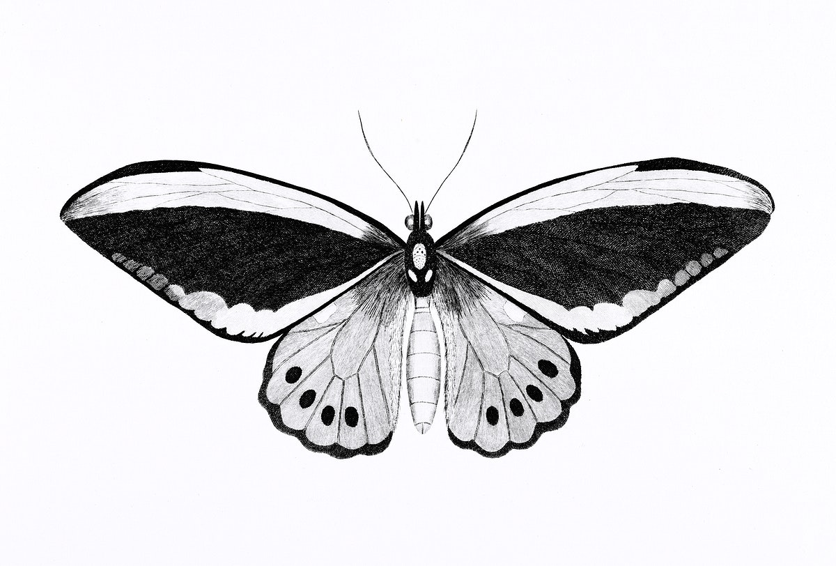 Illustration of papilio from Zoological lectures delivered at the Royal institution in the years 1806-7 illustrated by George…