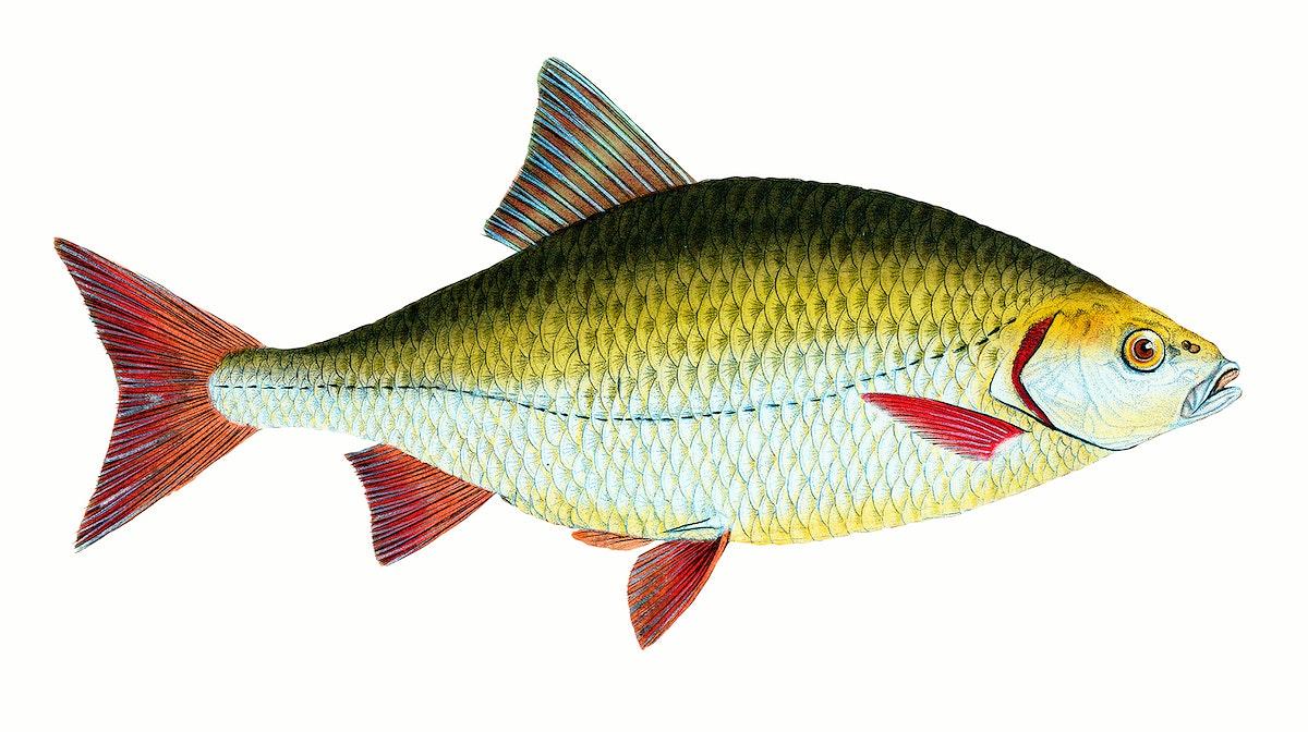fish, fish illustration, vintage fish, marine