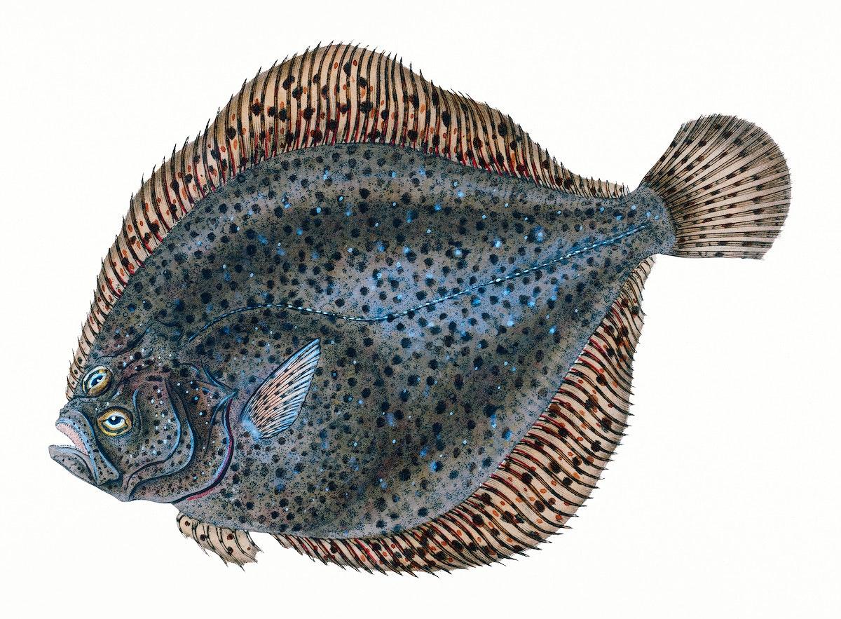 fish, british, turbot fish, sea