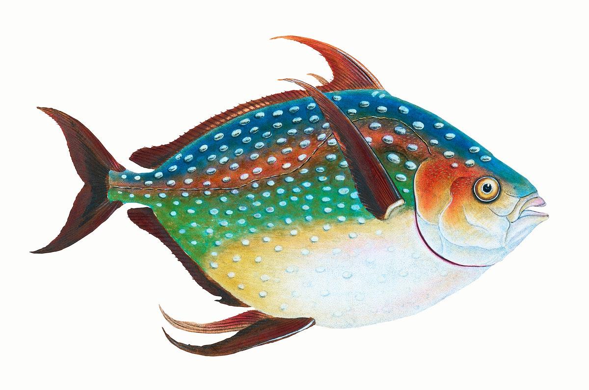 fish, animals, fish illustration, vintage fish