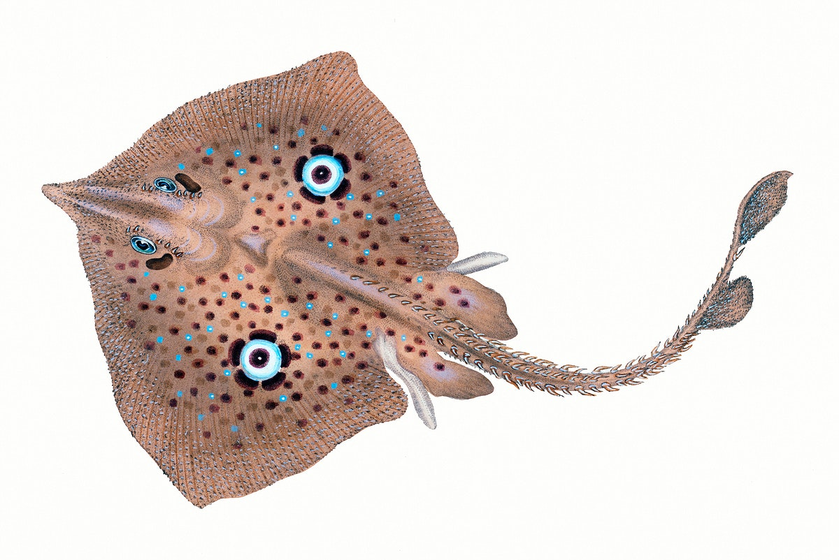fish, fish illustration, stingray, diamond