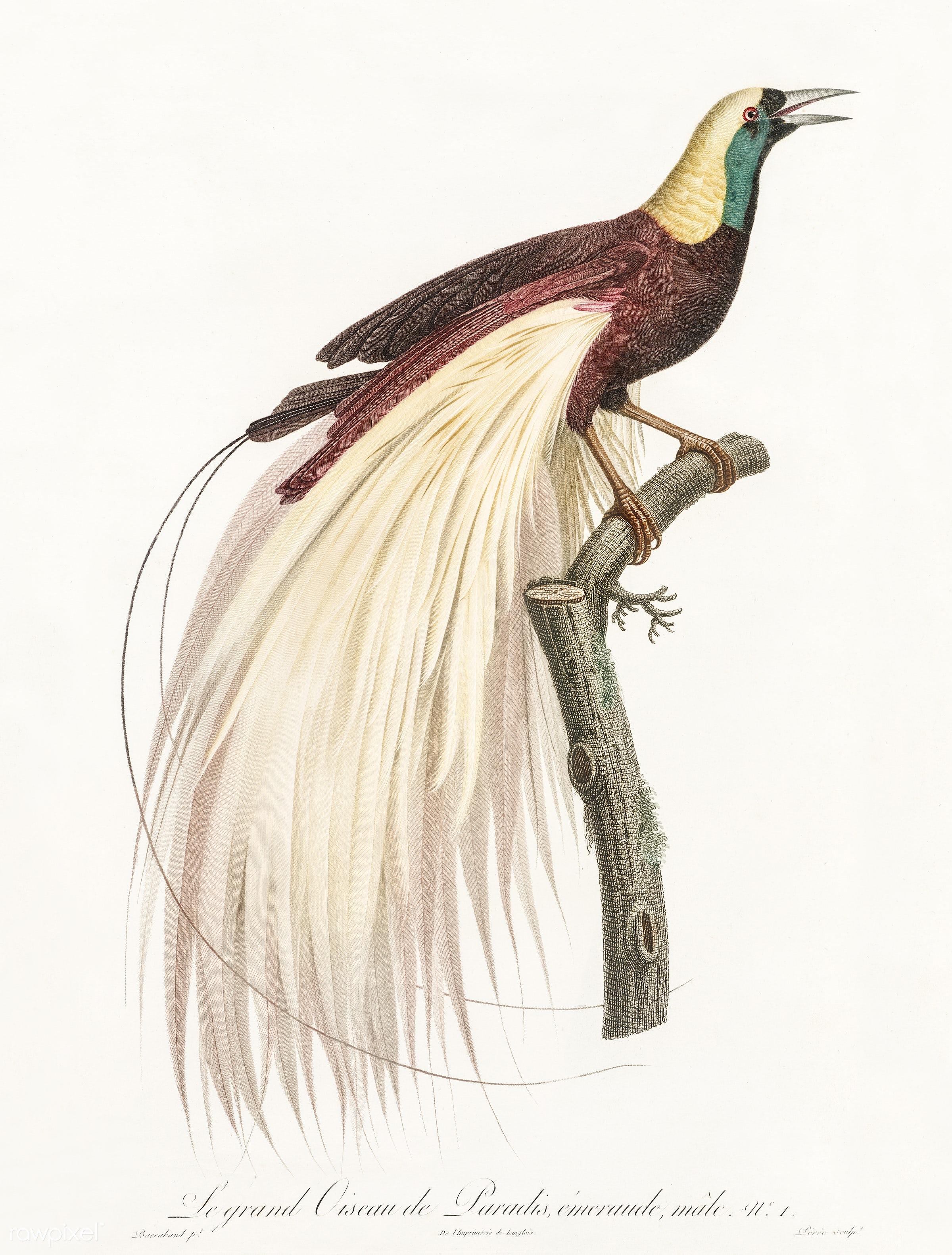 Emperor bird-of-paradise, male from Histoire Naturelle des Oiseaux ...