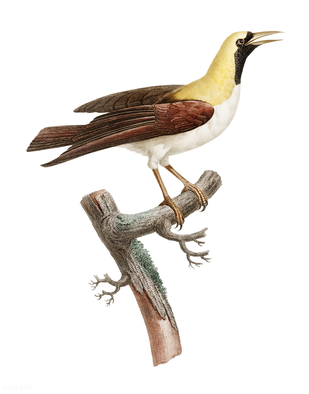 Emperor bird-of-paradise, female from Histoire Naturelle des Oiseaux ...