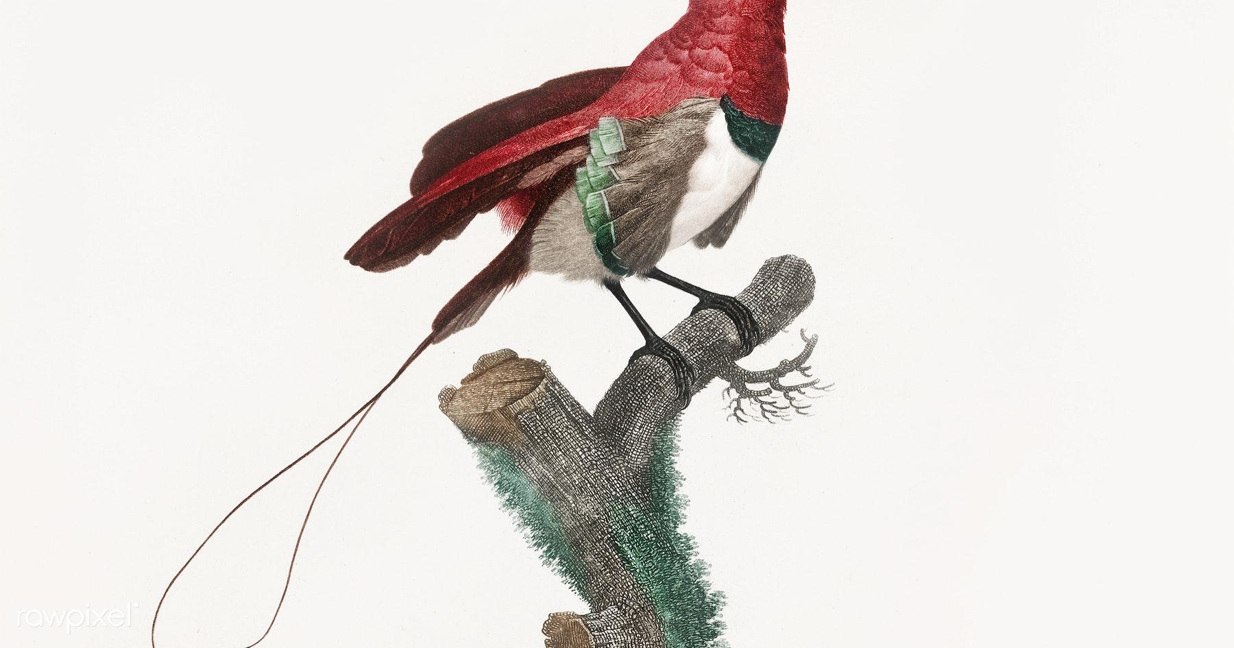 King bird of paradise, male from Histoire Naturelle des Oiseaux de ...