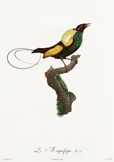 Des Oiseaux de Paradis