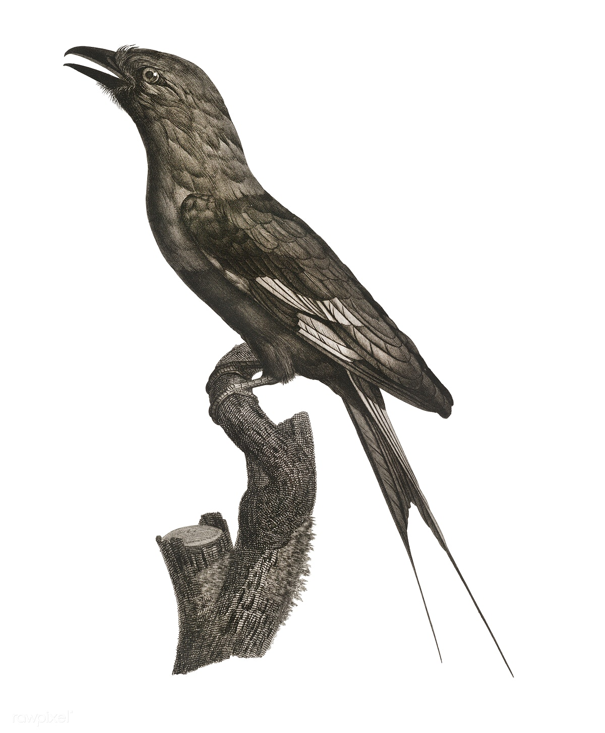 Twelve wired bird of paradise from Histoire Naturelle des Oiseaux de ...