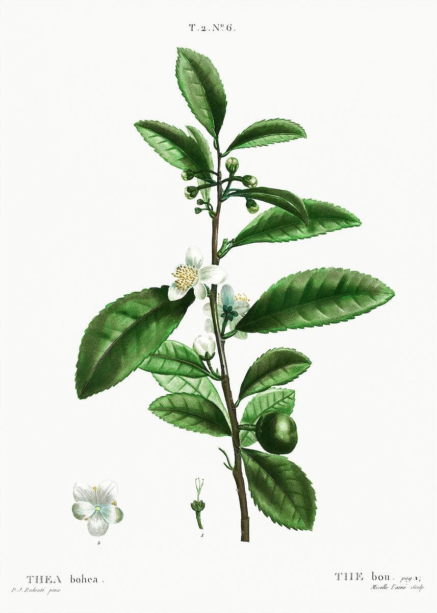 Thea bohea (The bou) from Traité des Arbres et Arbustes que l'on cultive en France en pleine terre…