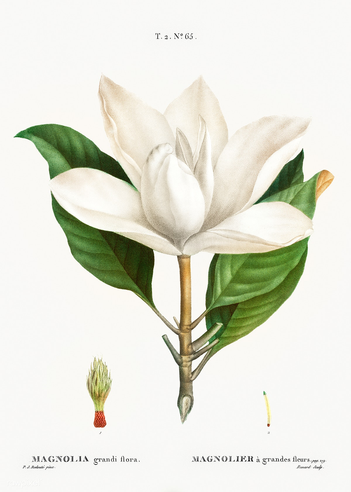 White Southern Magnolia Free Public Domain Illustration 568327
