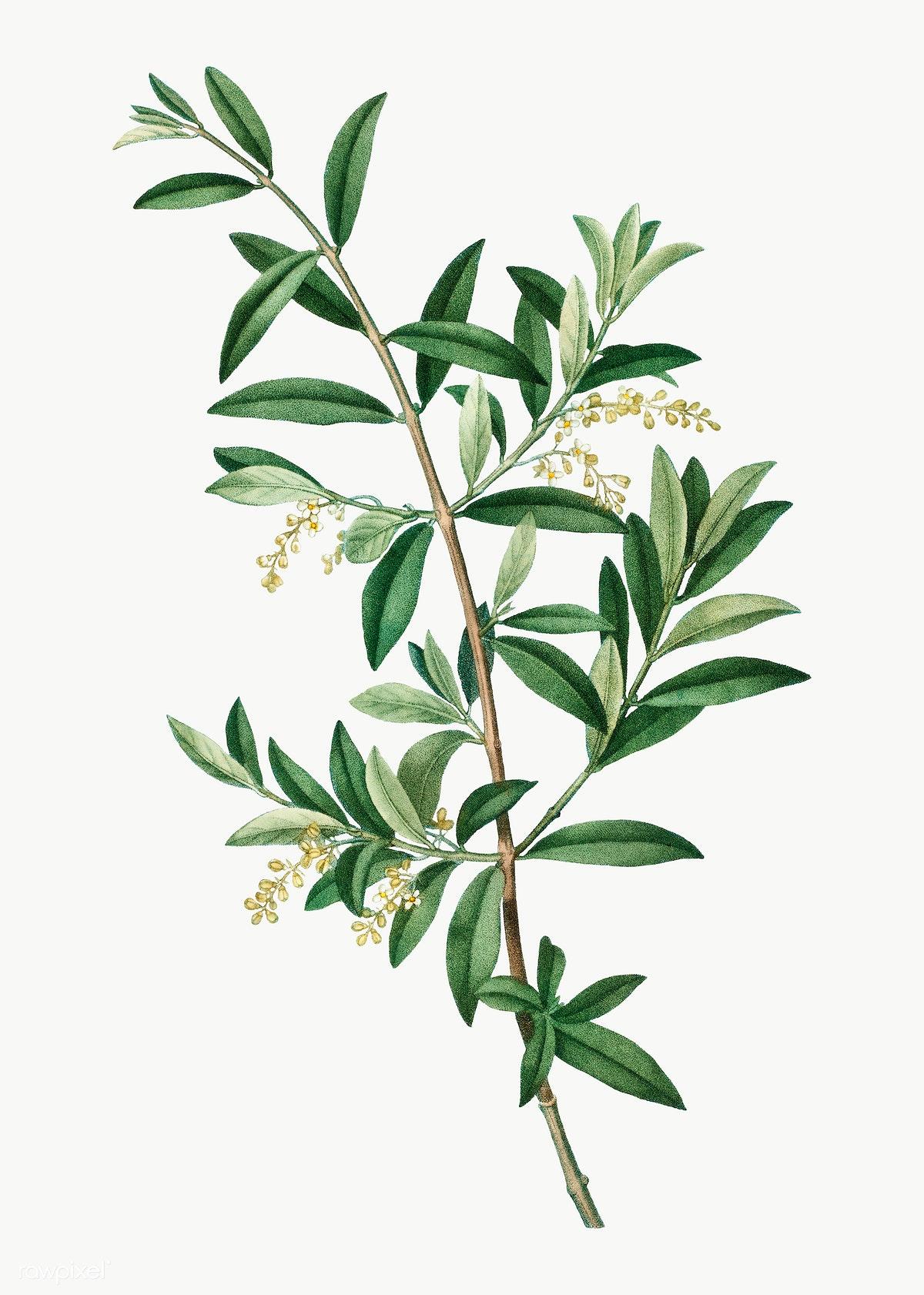 Green Olive Tree Free Stock Illustration