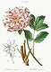 """Moutan peony (Pivoine moutan) from Trait&eacute; des Arbres et Arbustes que l&rsquo;on cultive en France en pleine terre (1801&ndash;1819) by <a href=""""https://www.rawpixel.com/search/Redout%C3%A9?sort=curated&amp;page=1"""">Pierre-Joseph Redout&eacute;</a>. Original from the New York Public Library. Digitally enhanced by rawpixel."""