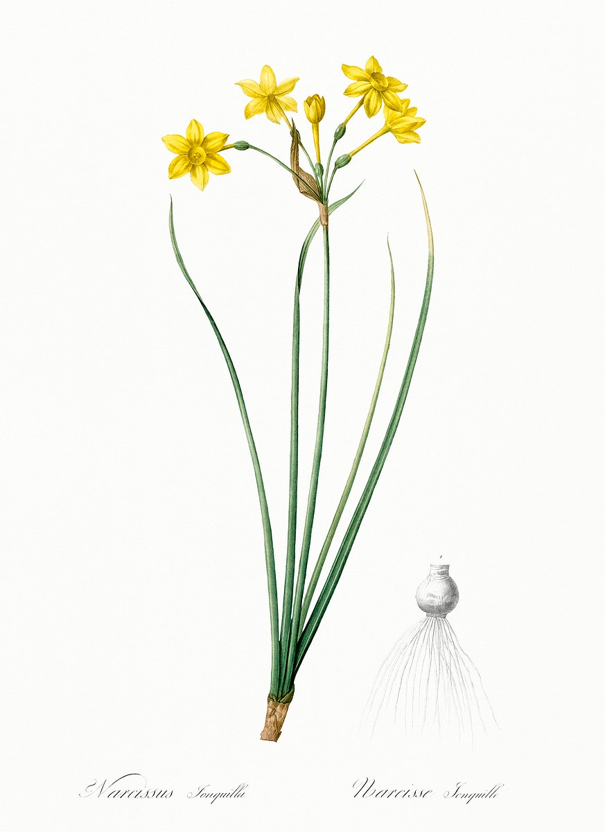 Rush daffodil illustration from Les liliacées (1805) by Pierre-Joseph Redouté. Original from New York Public…