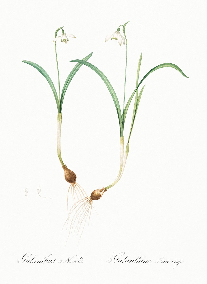 Snowdrop illustration from Les liliacées (1805) by Pierre Joseph Redouté (1759-1840). Original from New York…