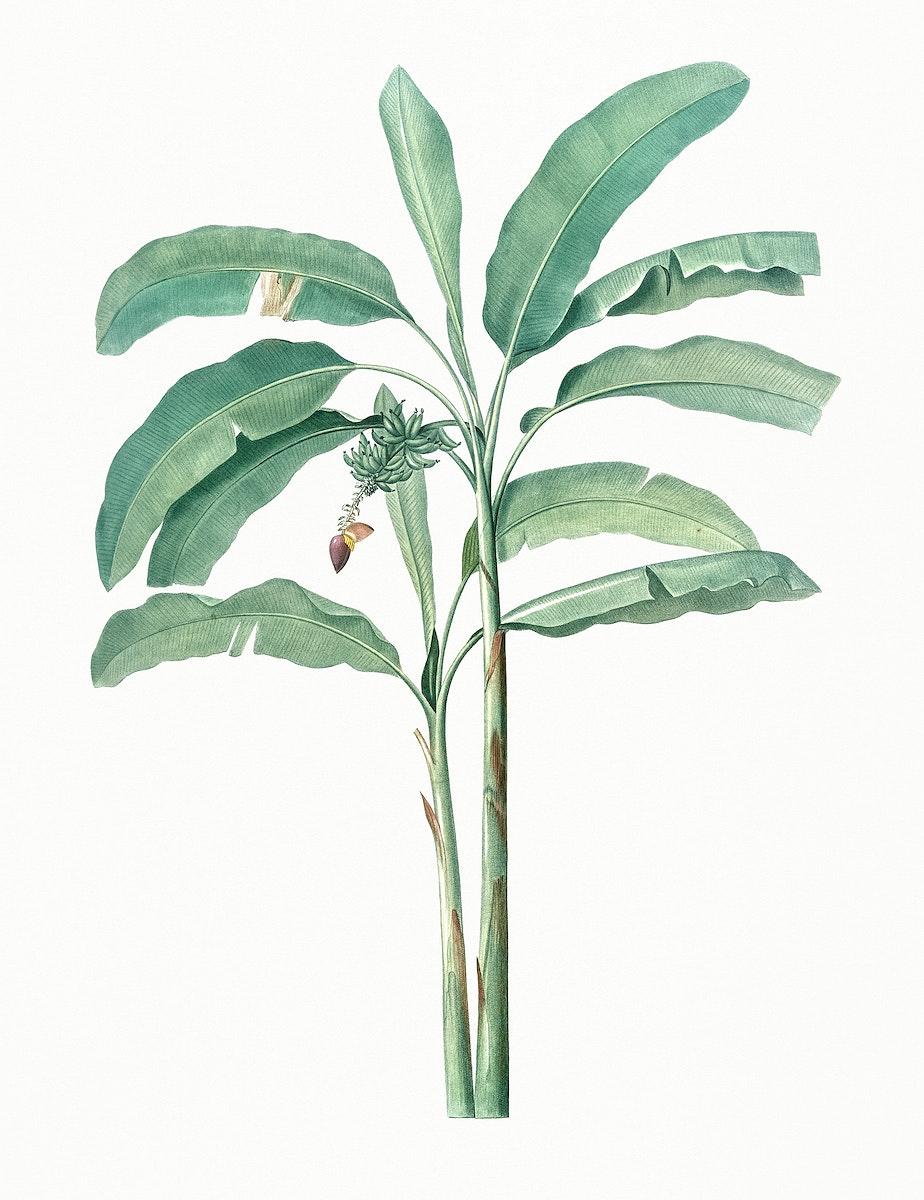 Vintage Illustration of Banana tree