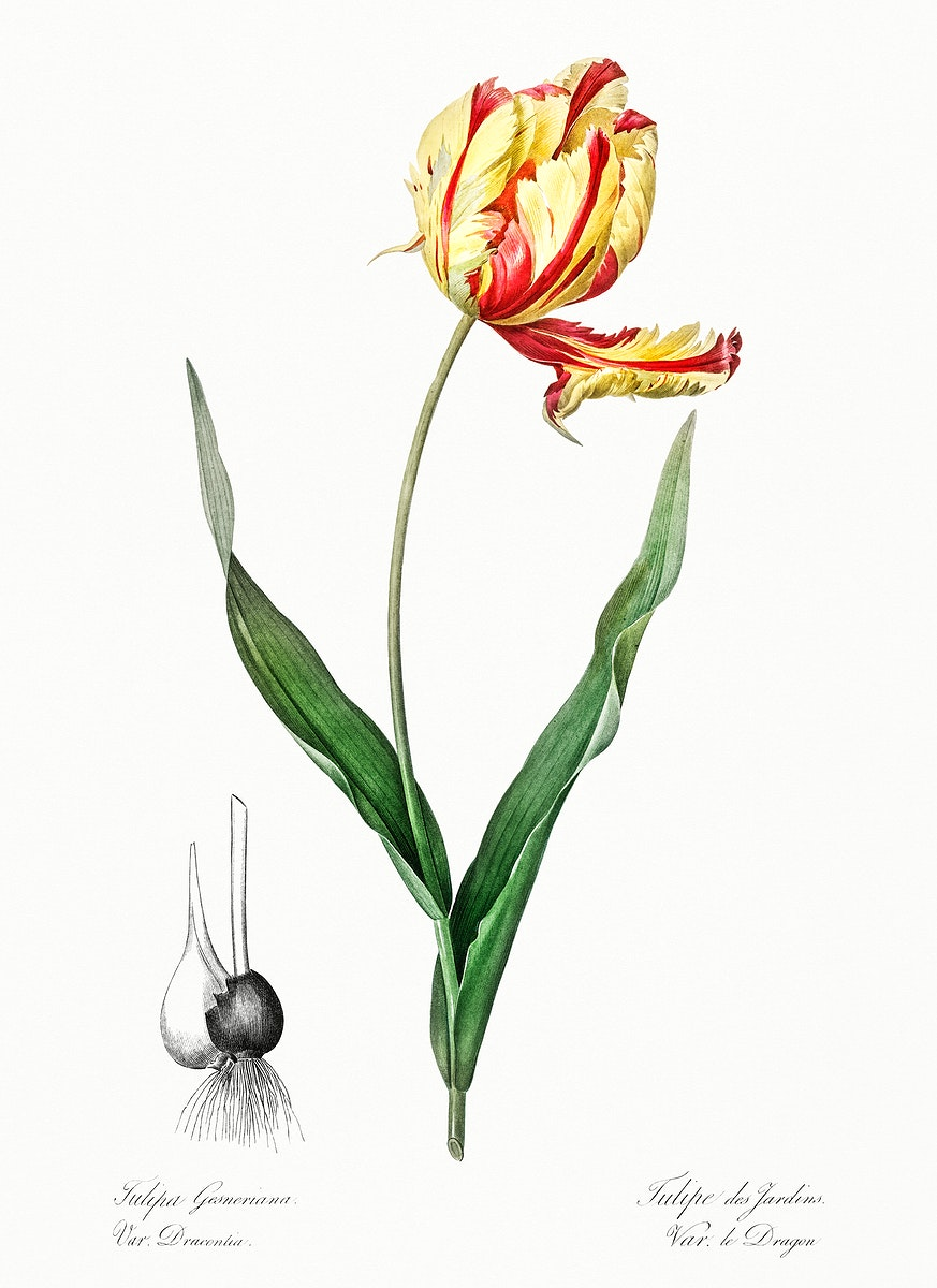 Didier's tulip illustration from Les liliacées (1805) by Pierre-Joseph Redouté. Original from New York Public…