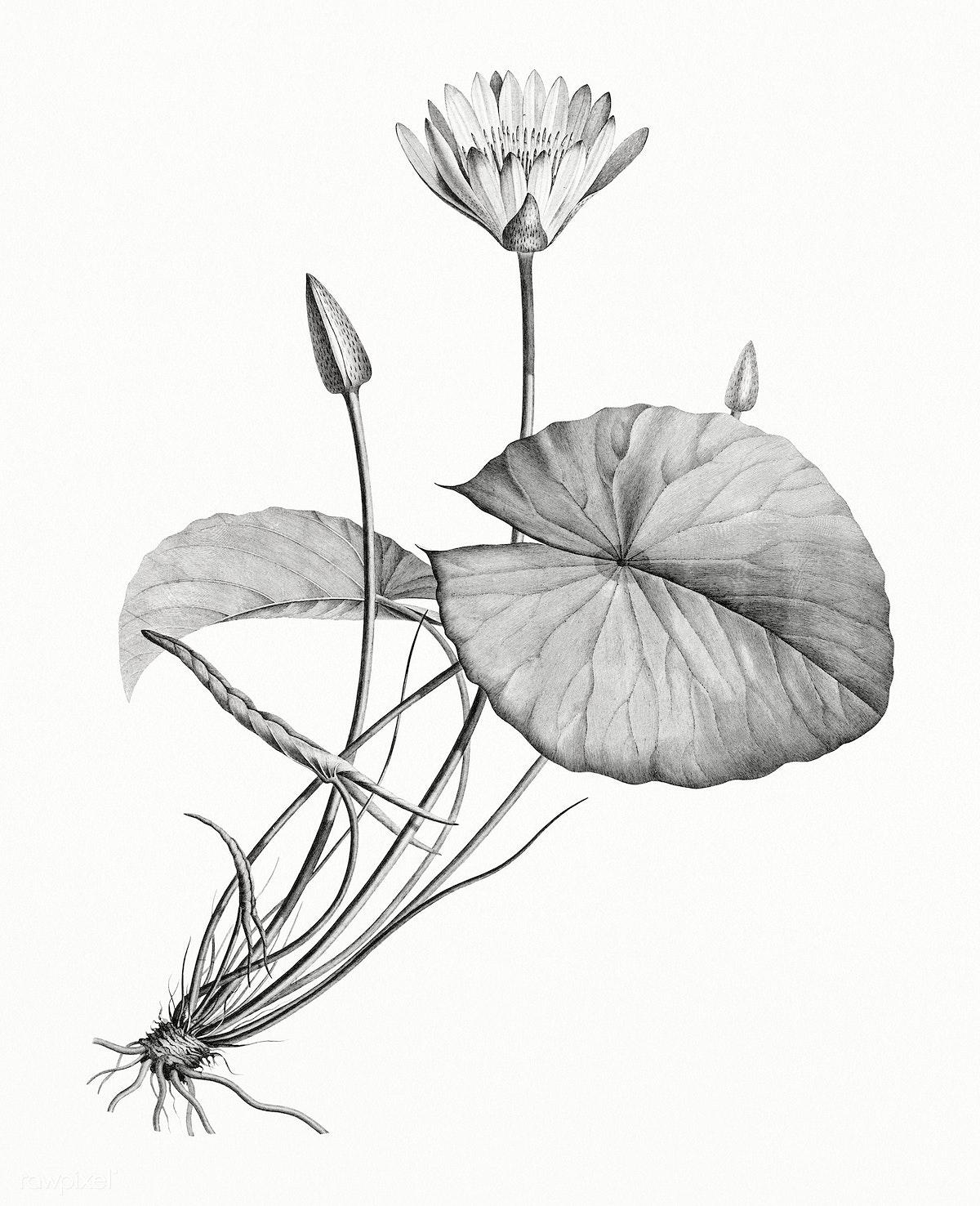Vintage Illustration Of Egyptian Lotus Royalty Free Stock