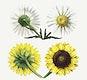 Antique illustration set of daisy
