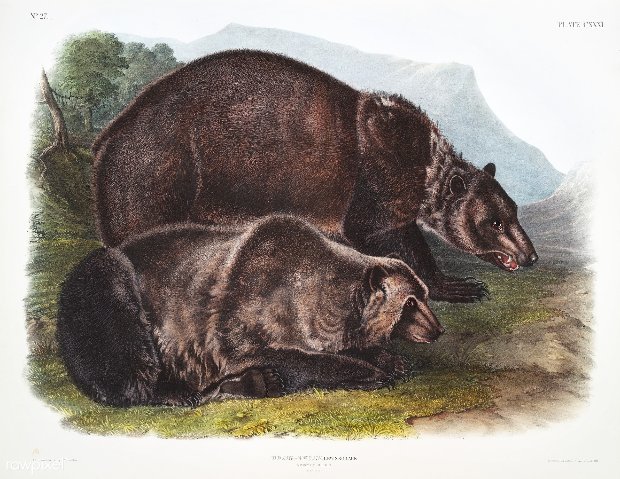 Grizzly Bear (Ursus ferox) from the viviparous quadrupeds of North America (1845) illustrated by John Woodhouse Audubon (...