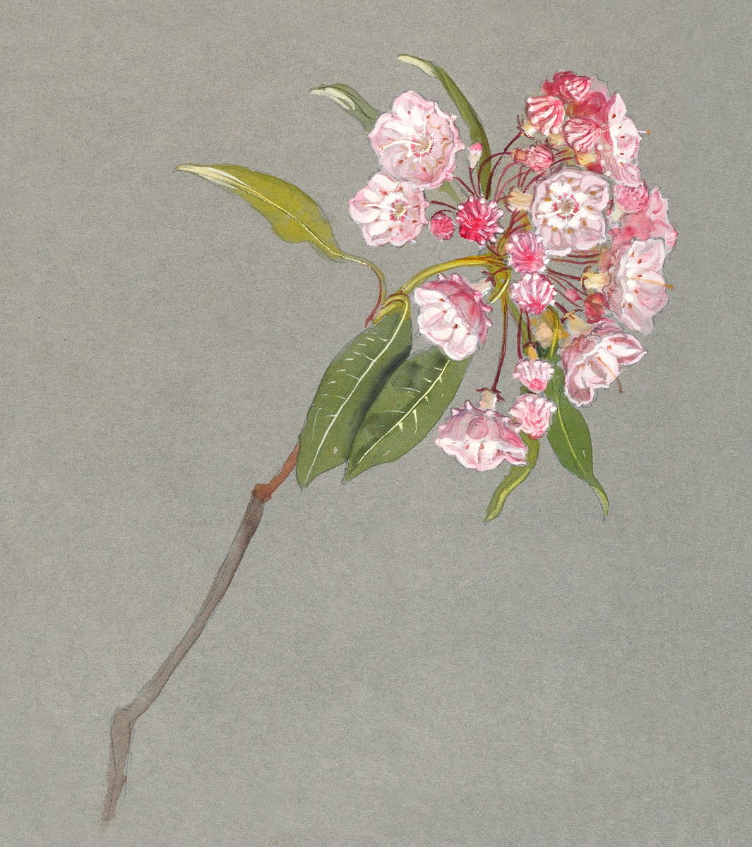 A Bough of Mountain Laurel with Leaves and Blossoms (ca. 1880) by Samuel Colman. Original from The Smithsonian Institution.…