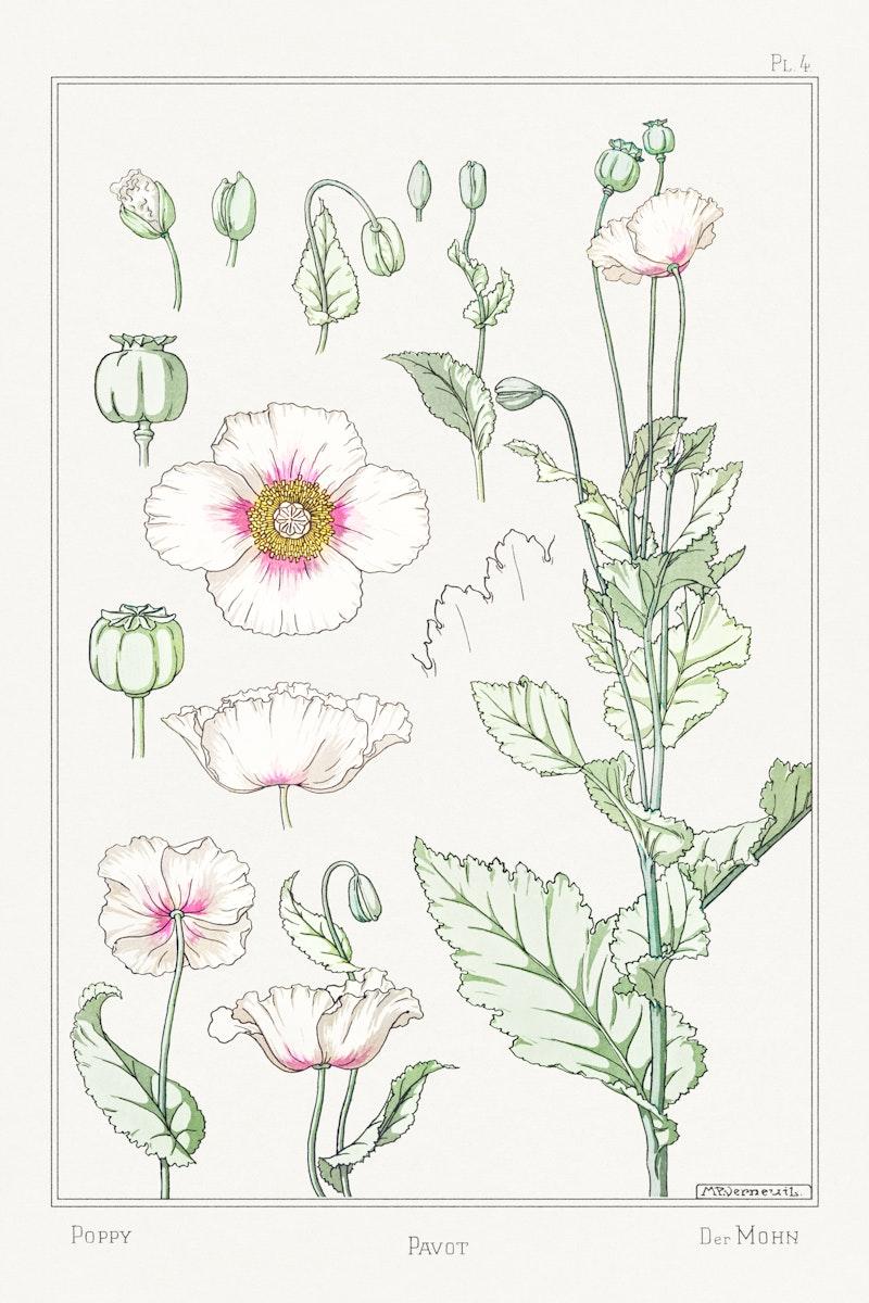 Vintage poppy flower parts design element