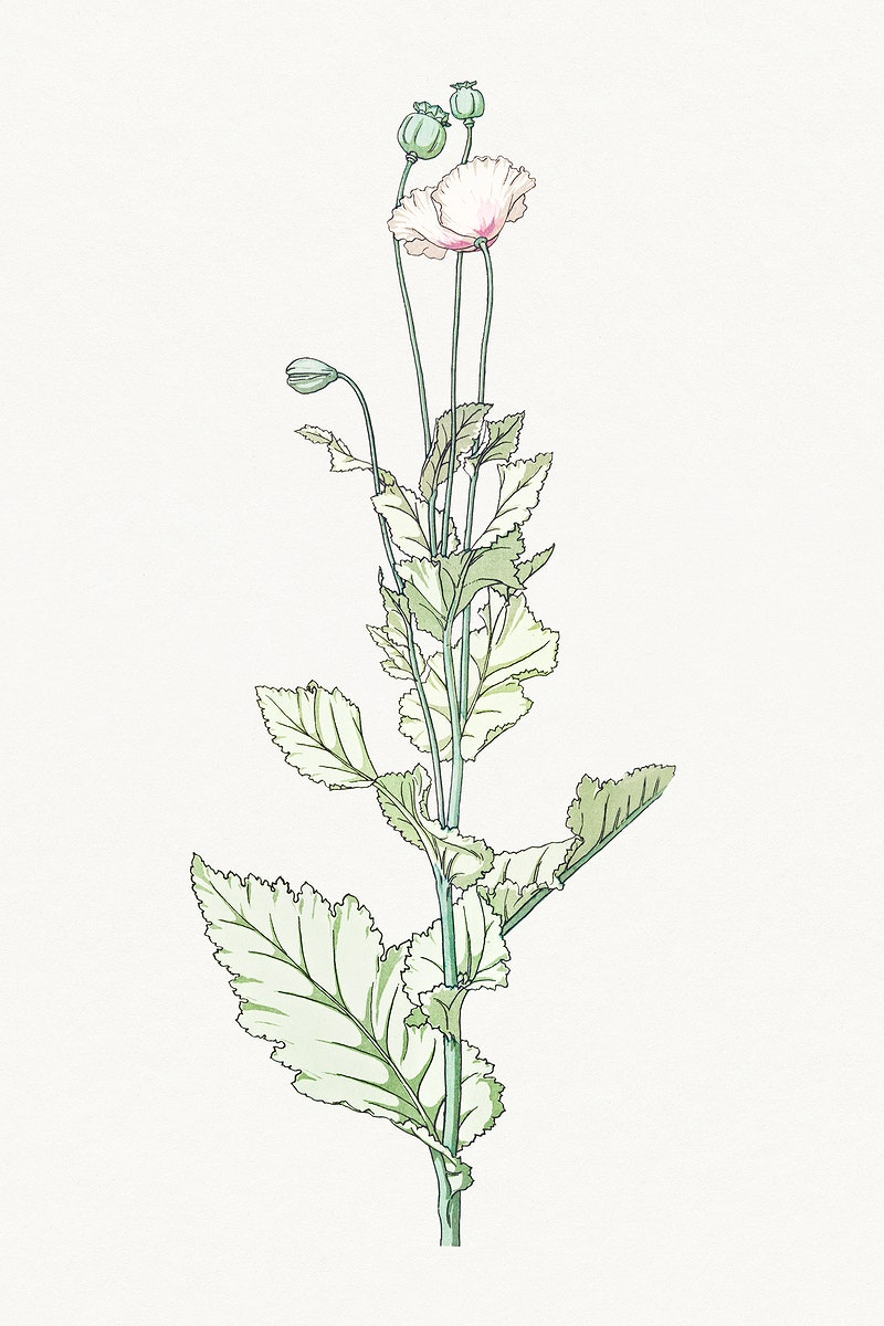 Vintage poppy flower design element