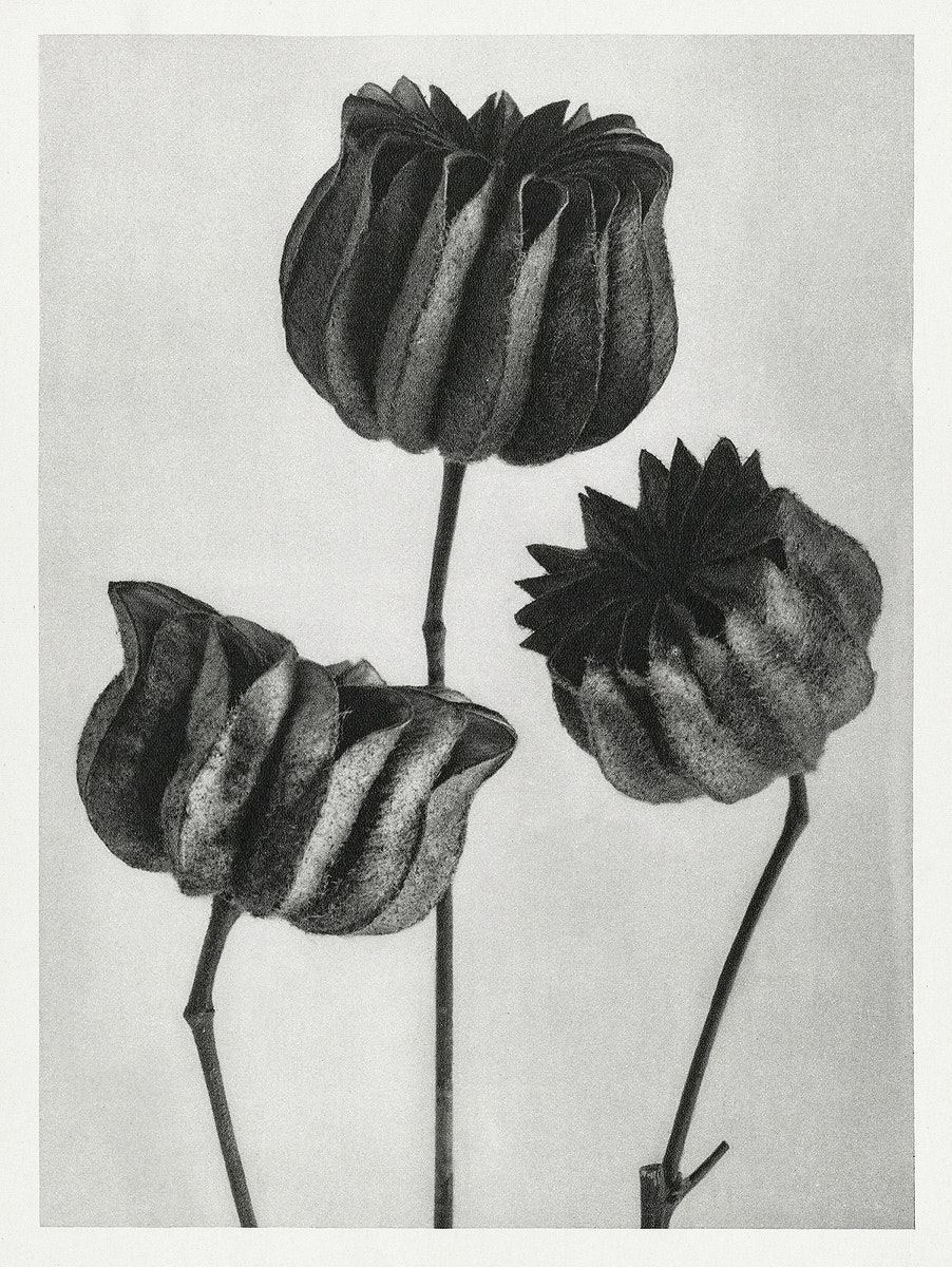 Abutilon (Lime Mallow) pod enlarged six times from Urformen der Kunst (1928) by Karl Blossfeldt. Original from The…