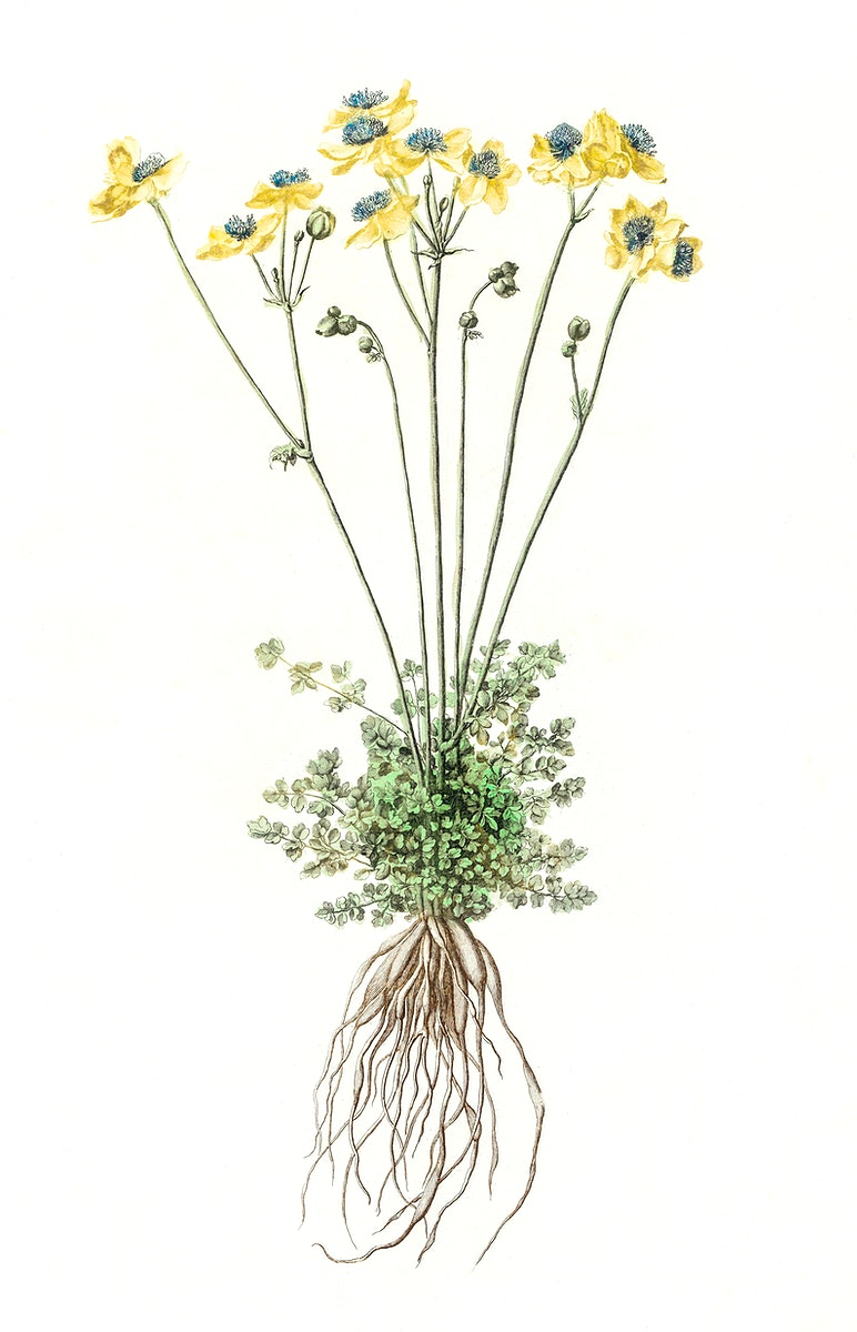 Yellow flowers with roots by Johan Teyler (1648-1709). Original from The Rijksmuseum. Digitally enhanced by rawpixel.