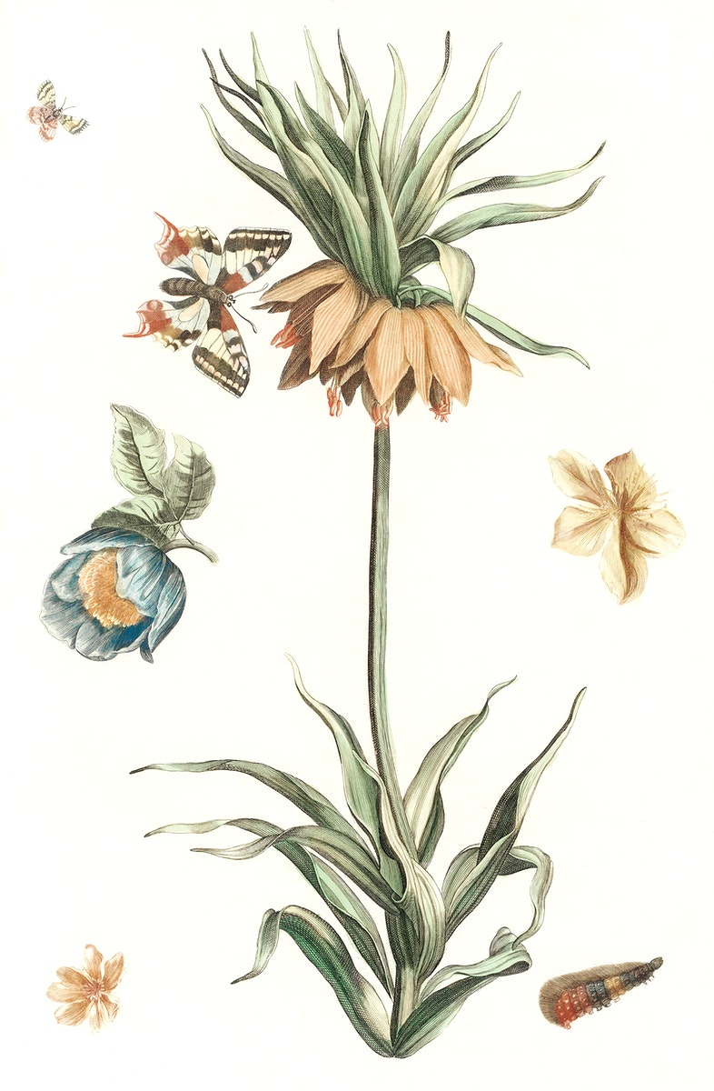 Keizerskroon tulip, butterflies and caterpillars by Johan Teyler (1648-1709). Original from The Rijksmuseum. Digitally…