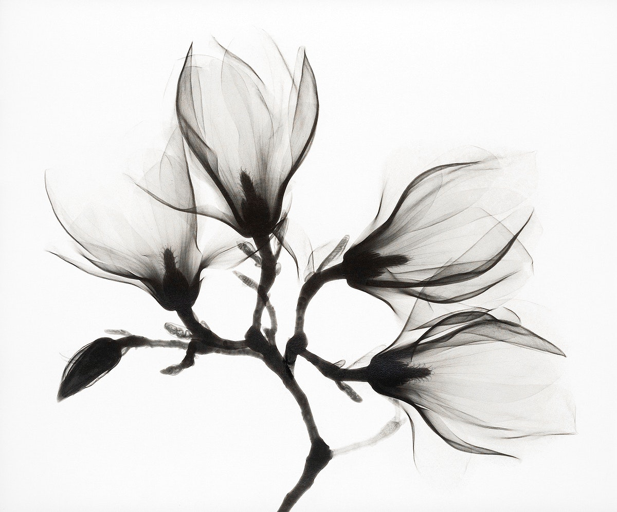 Magnolia Branch with Four Flowers (ca. 1910-1925). Original from the Rijksmuseum. Digitally enhanced by rawpixel.