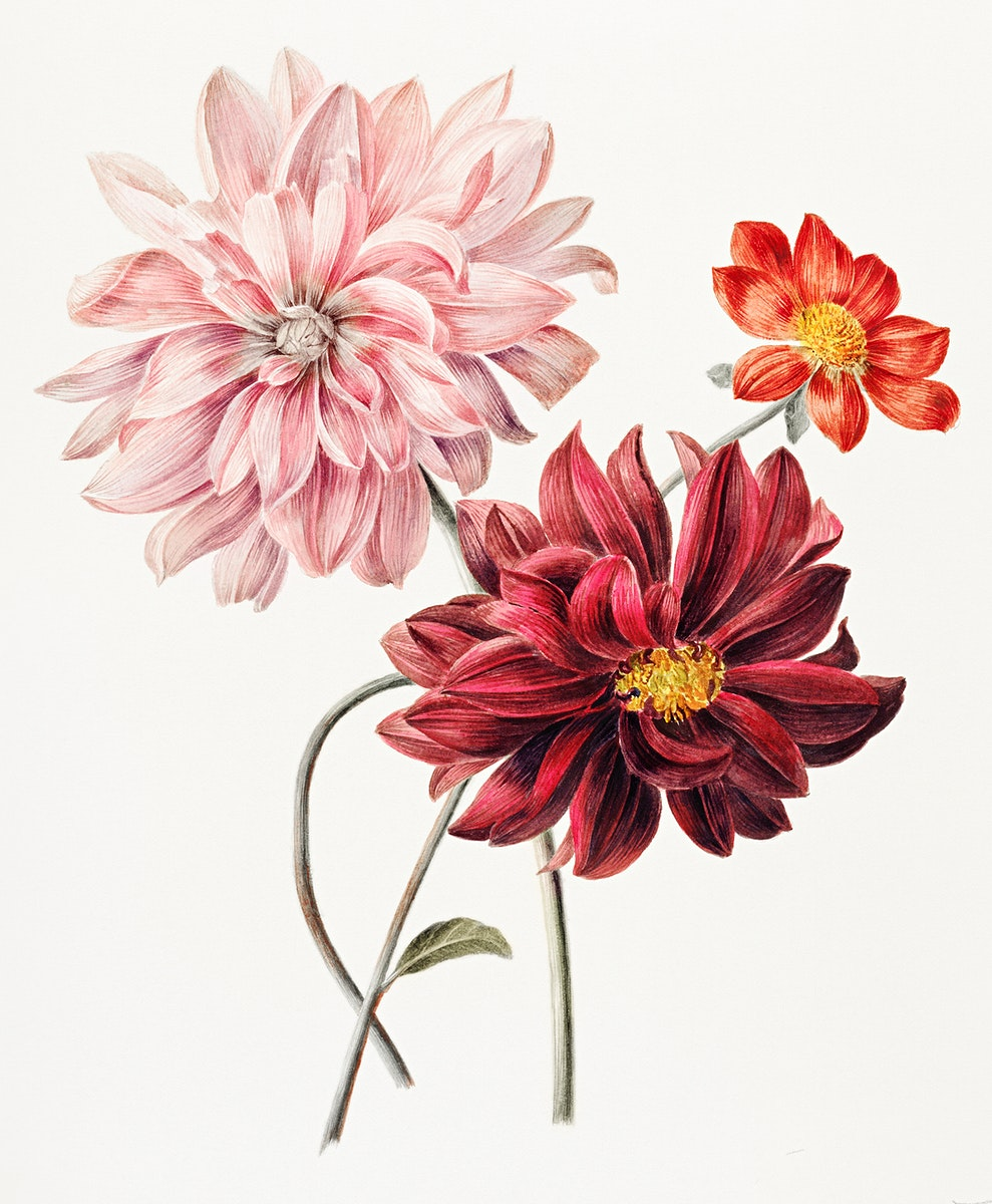Dahlias by Willem Hekking (I) (1806 –1862). Original from the Rijksmuseum. Digitally enhanced by rawpixel.