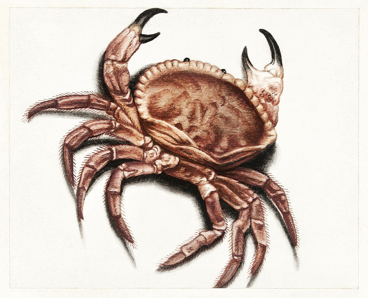 Crab by anonymous (1560–1585). Original from The Rijksmuseum. Digitally enhanced by rawpixel.