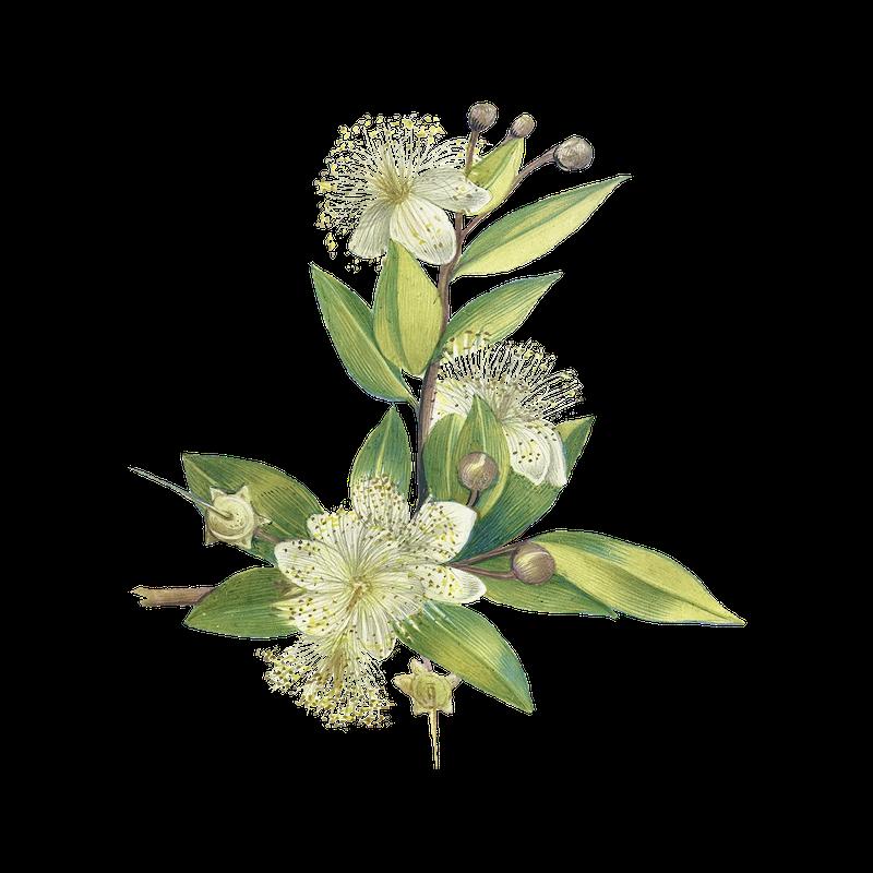 Botanical Eucalyptus plant png | Free stock illustration - 2022289