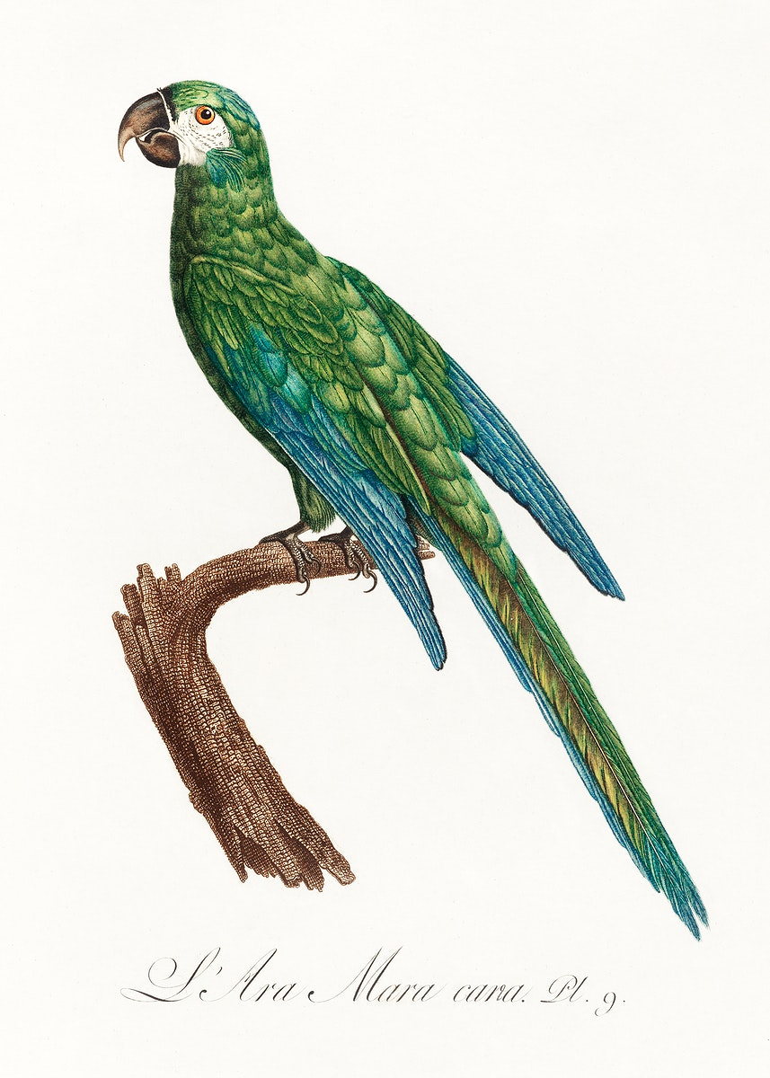 The Blue-Winged Macaw, Primolius maracana from Natural History of Parrots (1801—1805) by Francois Levaillant. Original…