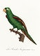 """The Eclectus Parrot, Eclectus roratus from Natural History of Parrots (1801&mdash;1805) by <a href=""""https://www.rawpixel.com/search/Francois%20Levaillant?sort=curated&amp;page=1"""">Francois Levaillant</a>. Original from the Biodiversity Heritage Library. Digitally enhanced by rawpixel."""