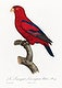 """The Red Lory, Eos bornea from Natural History of Parrots (1801&mdash;1805) by <a href=""""https://www.rawpixel.com/search/Francois%20Levaillant?sort=curated&amp;page=1"""">Francois Levaillant</a>. Original from the Biodiversity Heritage Library. Digitally enhanced by rawpixel."""