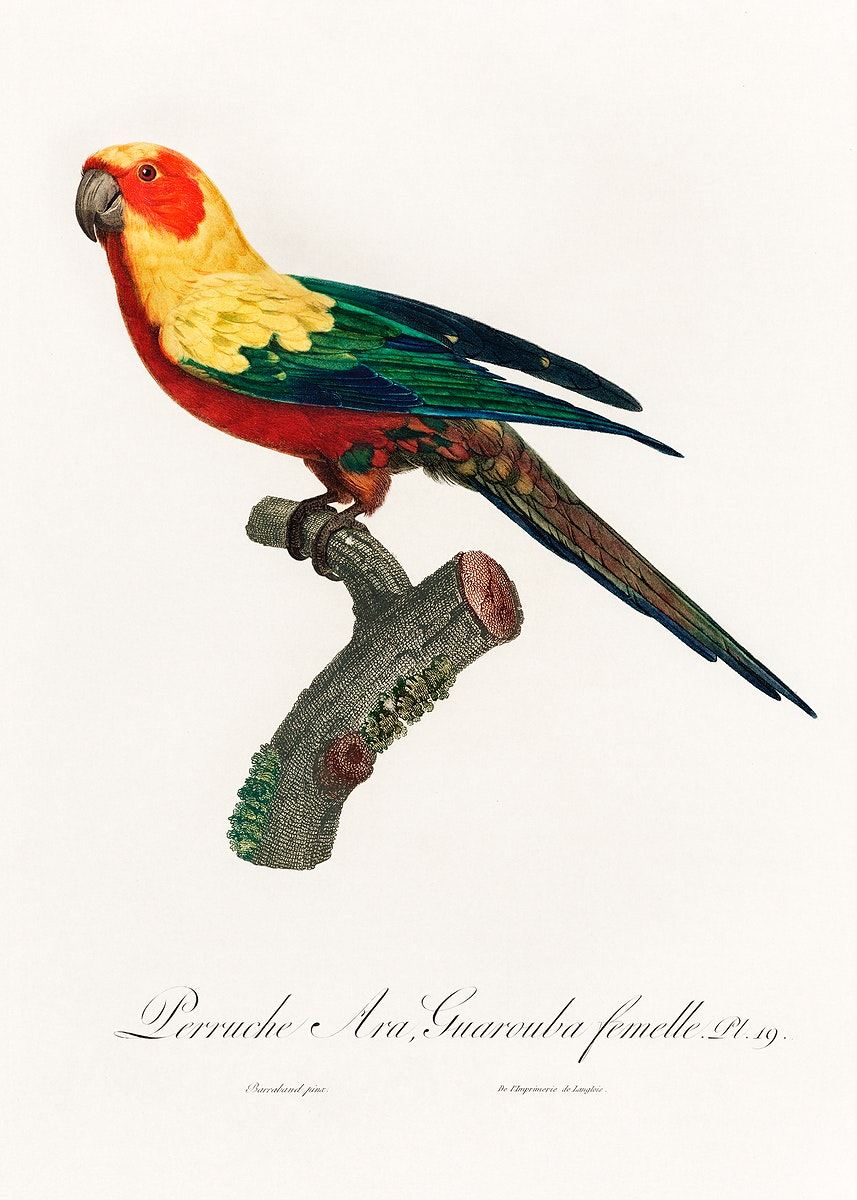 The Sun Parakeet, Aratinga solstitialis, female from Natural History of Parrots (1801—1805) by Francois Levaillant.…