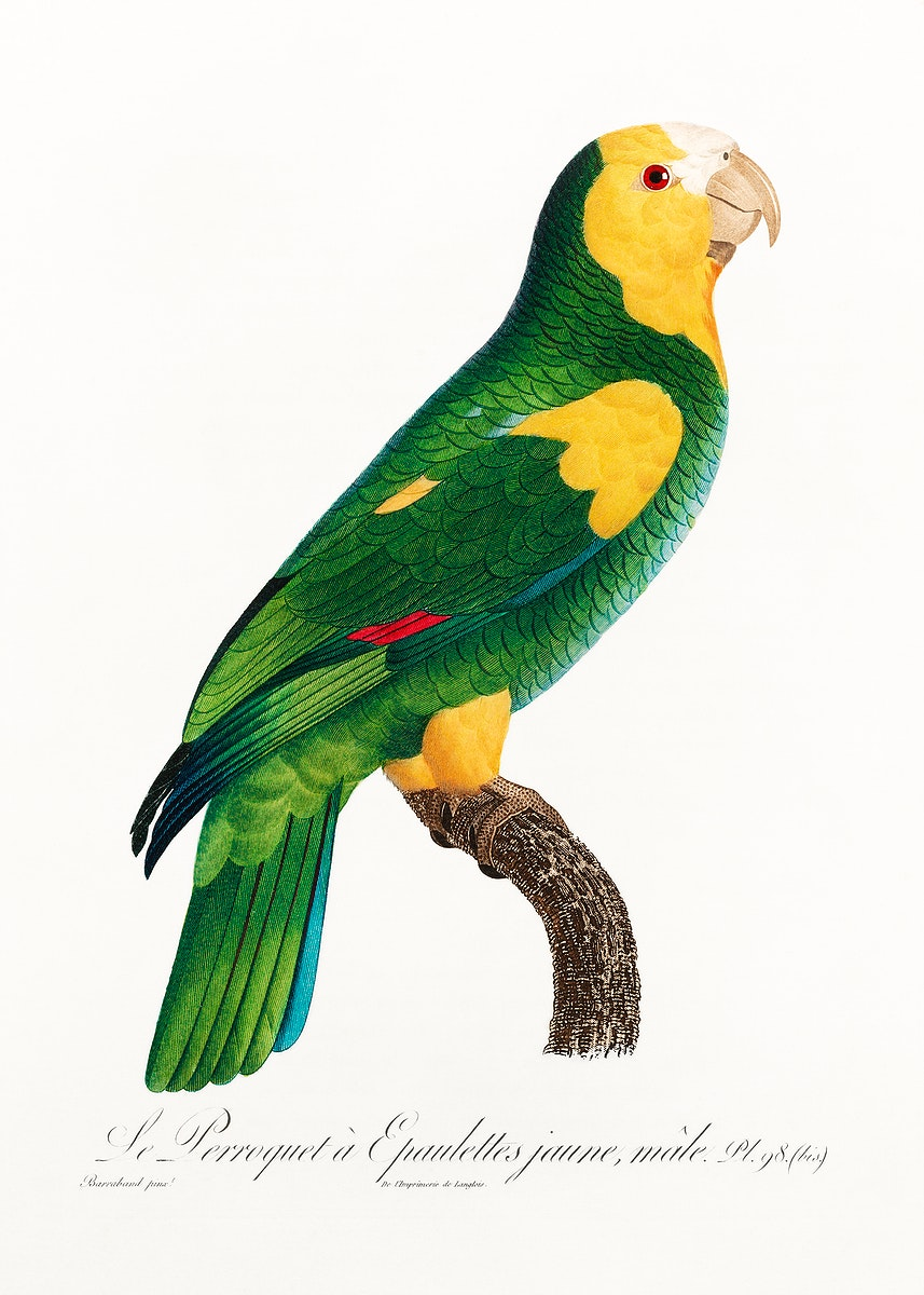 The Yellow-shouldered amazon from Natural History of Parrots (1801—1805) by Francois Levaillant. Original from the…