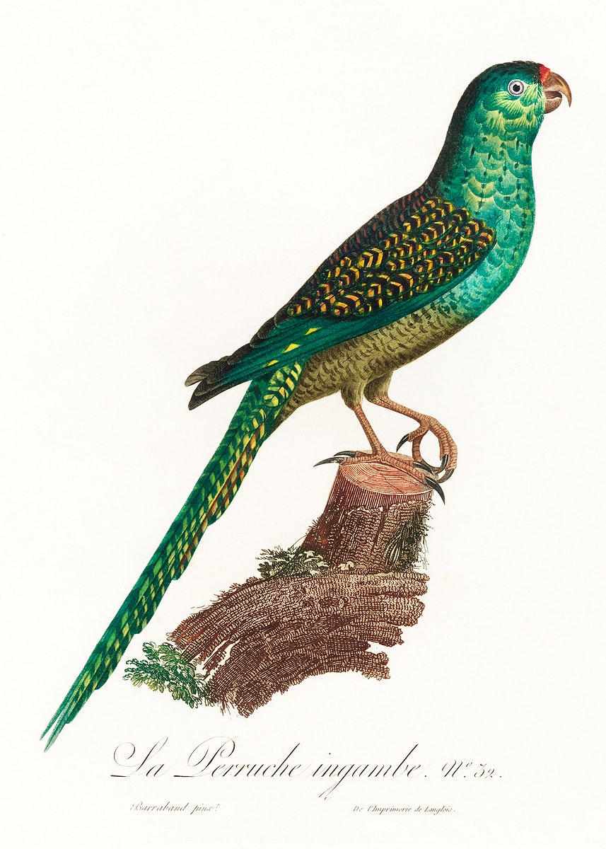 The Ingambe Parakeet from Natural History of Parrots (1801—1805) by Francois Levaillant. Original from the Biodiversity…