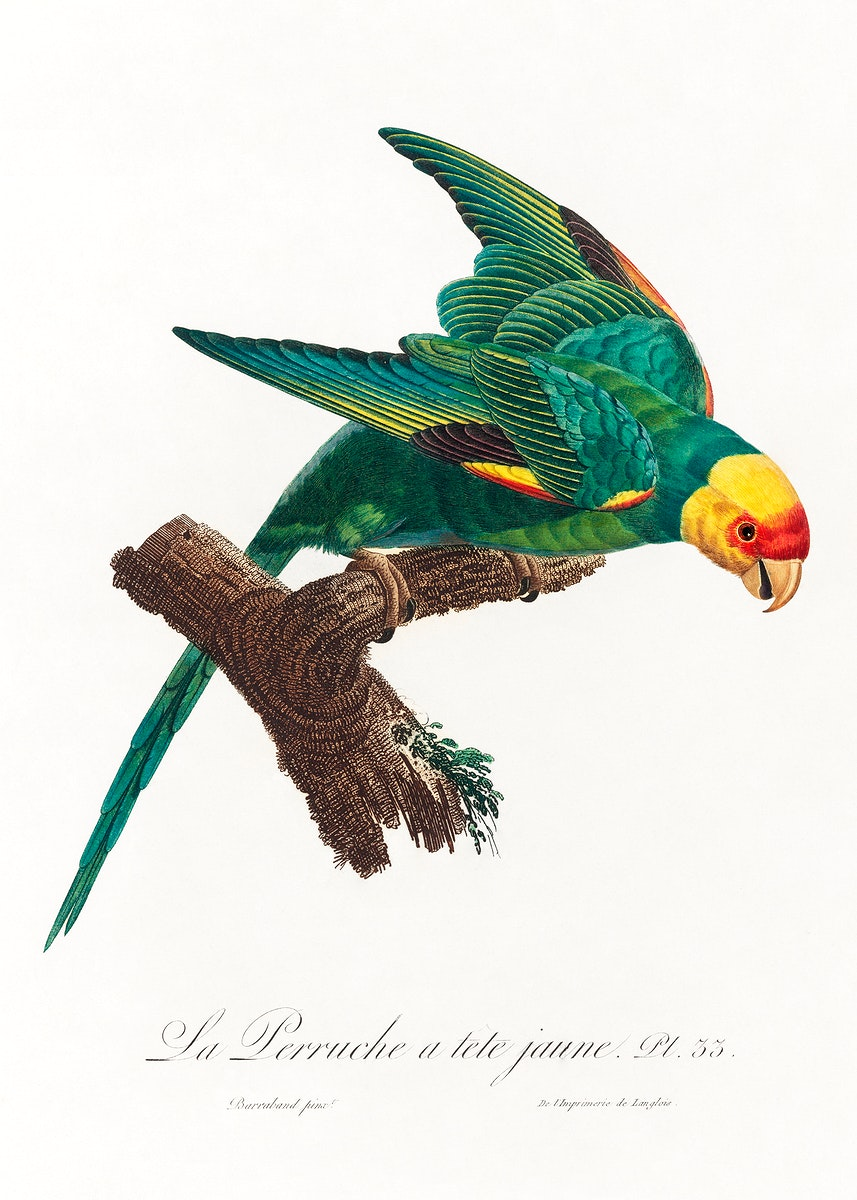 The Yellow-Crowned Parakeet, Cyanoramphus auriceps from Natural History of Parrots (1801—1805) by Francois Levaillant.…