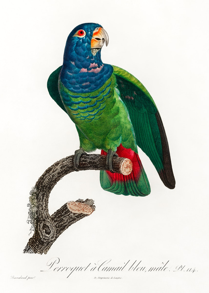 The Blue-Headed Parrot, Pionus menstruus from Natural History of Parrots (1801—1805) by Francois Levaillant. Original…