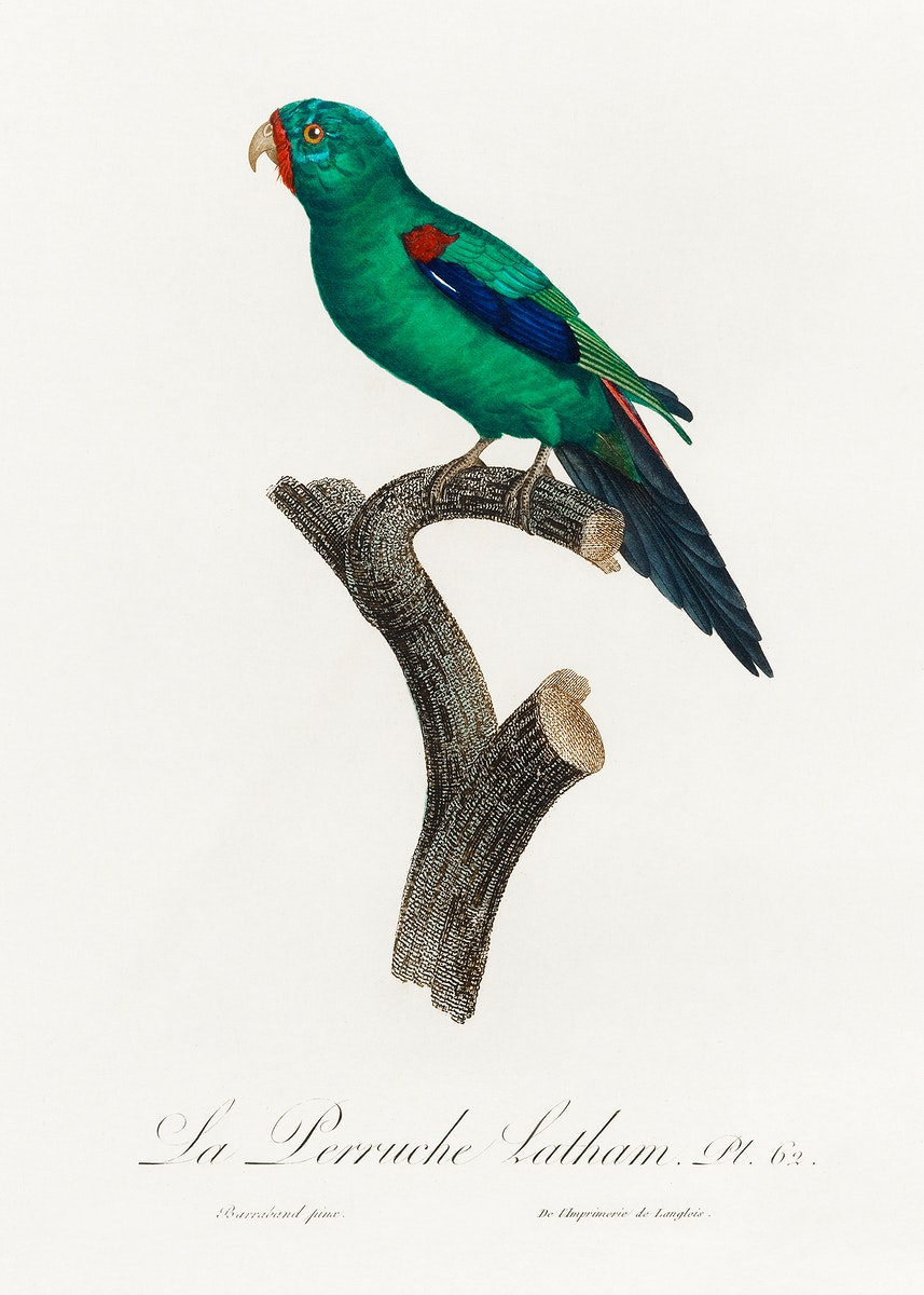 The Swift Parrot, Lathamus discolor from Natural History of Parrots (1801—1805) by Francois Levaillant. Original from…