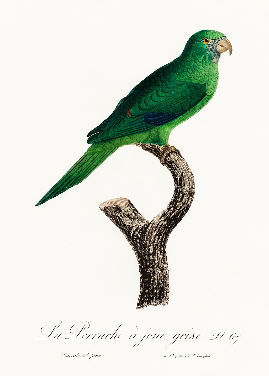 The Grey-Cheeked Parakeet (Brotogeris pyrrhoptera) from Natural History of Parrots (1801—1805) by Francois Levaillant.…