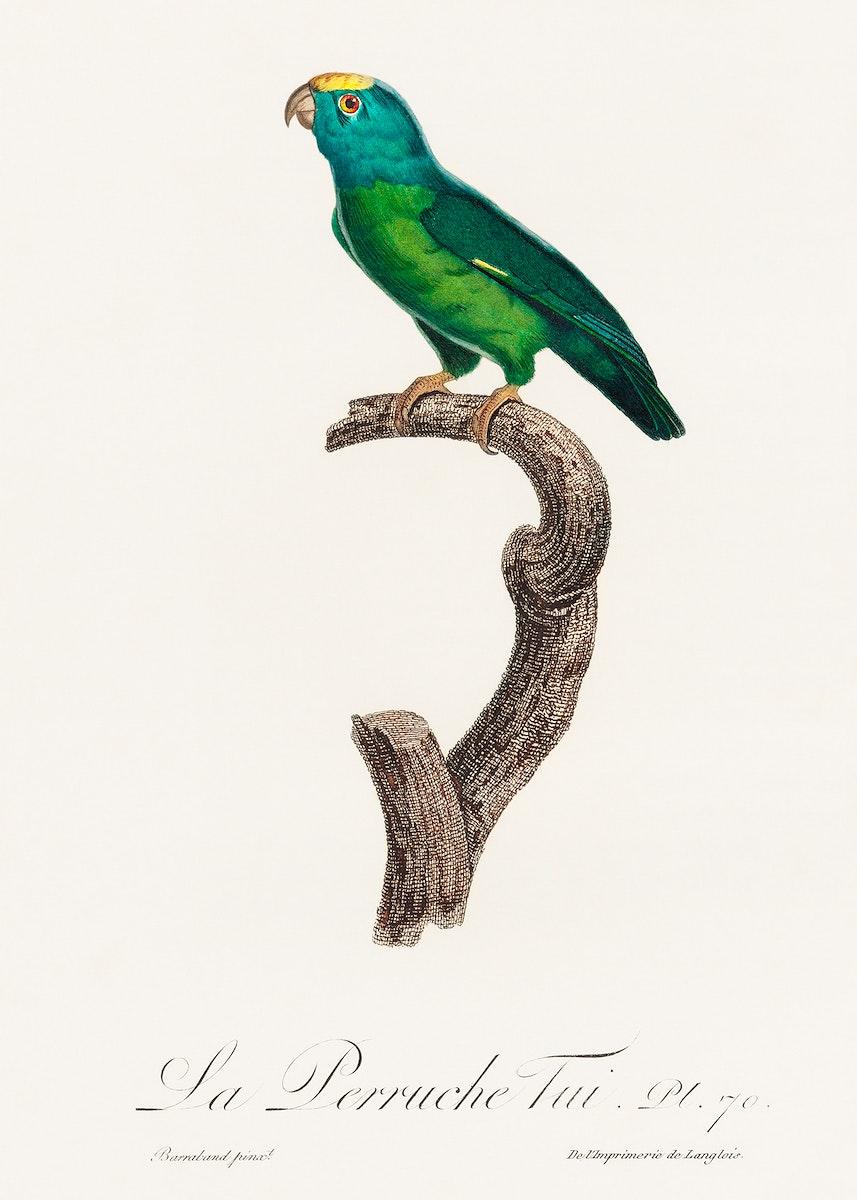 The Tui Parakeet, Brotogeris sanctithomae from Natural History of Parrots (1801—1805) by Francois Levaillant. Original…
