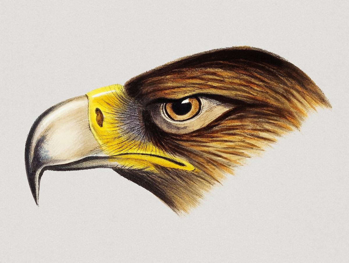 Vintage Illustration of Wedge-tailed Eagle.