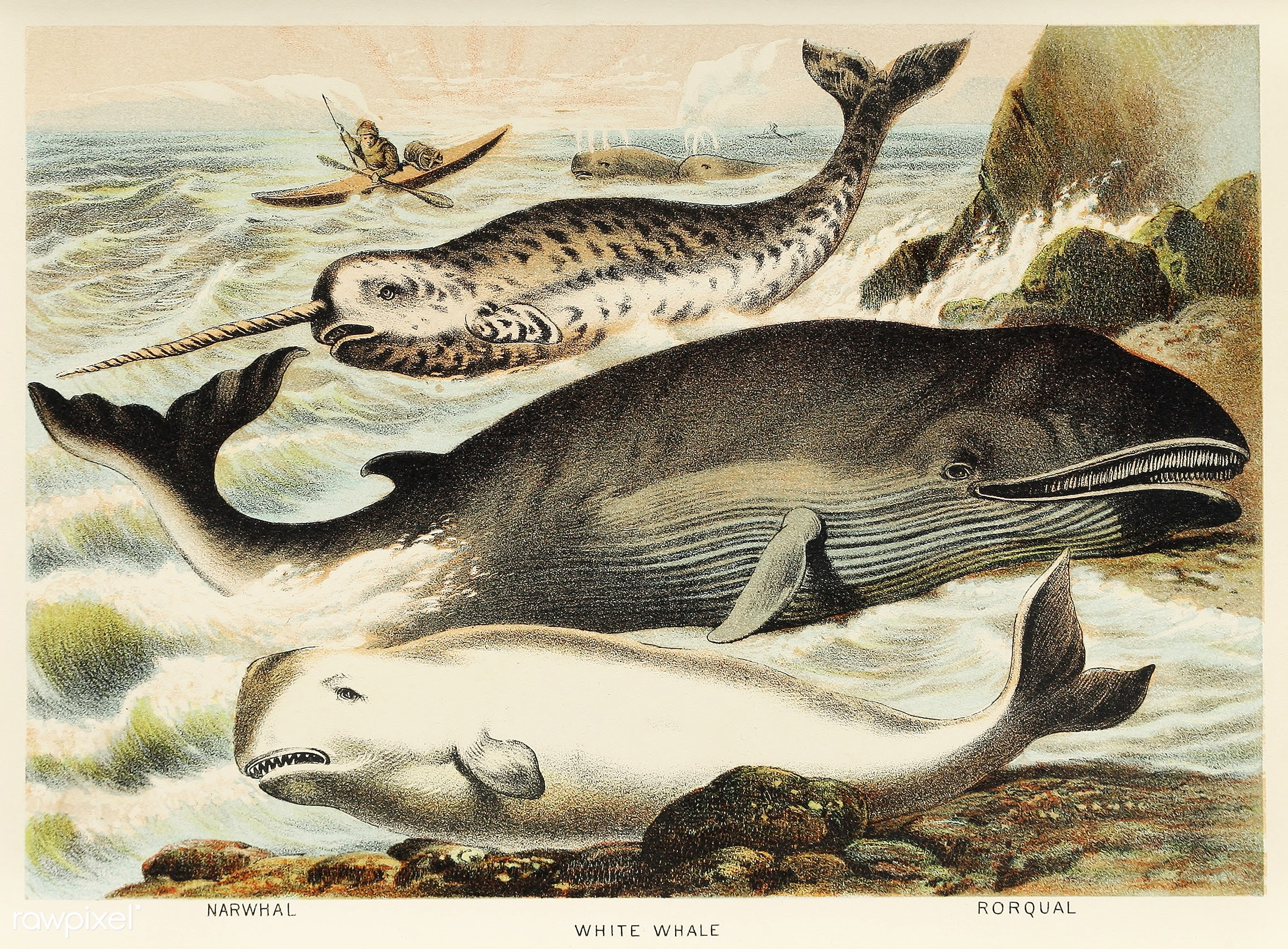 Narwhal, White whale, and Rorqual from Johnson's household book of nature (1880) by John Karst (1836-1922). - animal,...