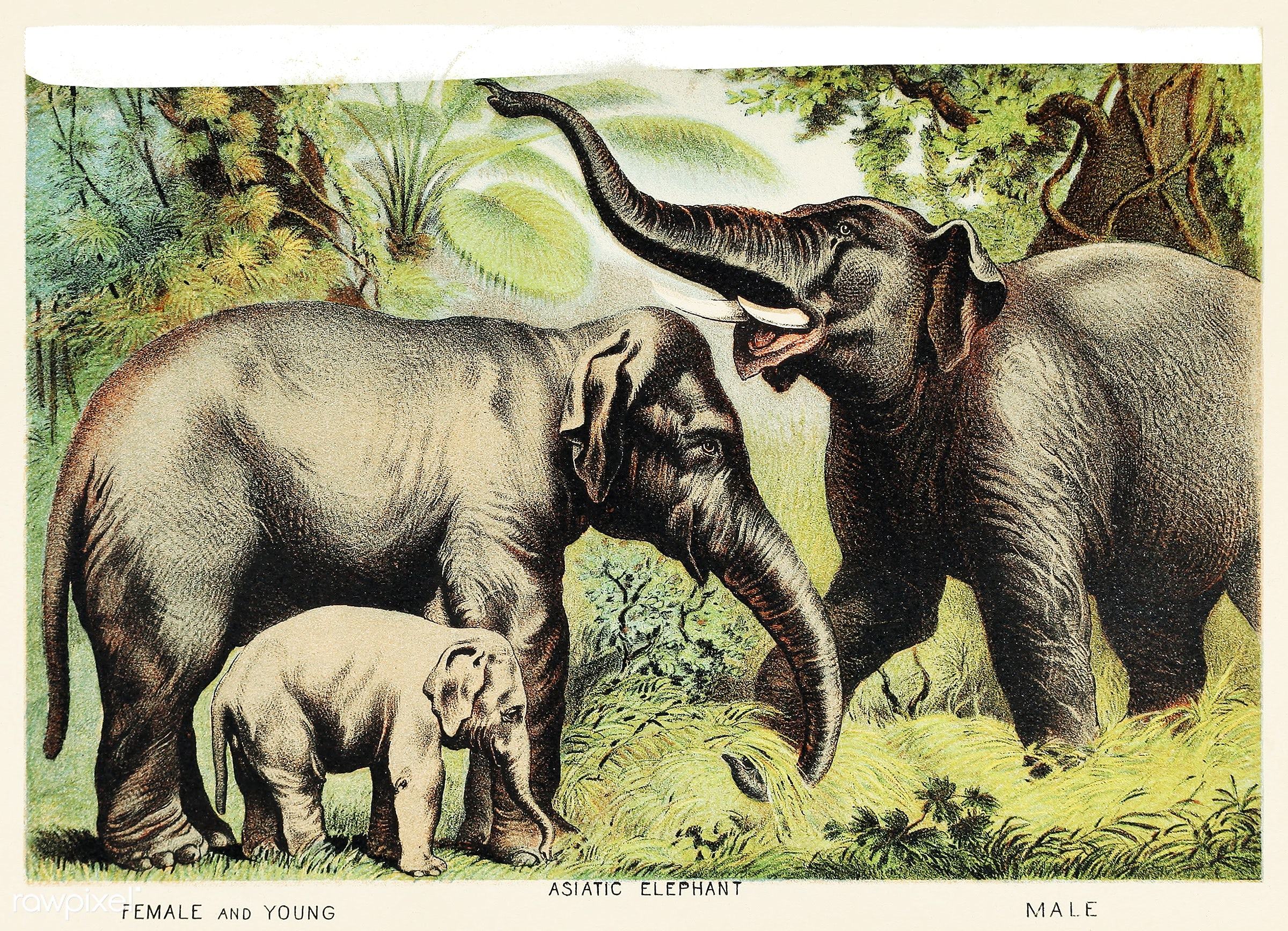 Asiatic elephant from Johnson's Household Book of Nature (1880) by John Karst (1836-1922). - animal, animals, antique,...