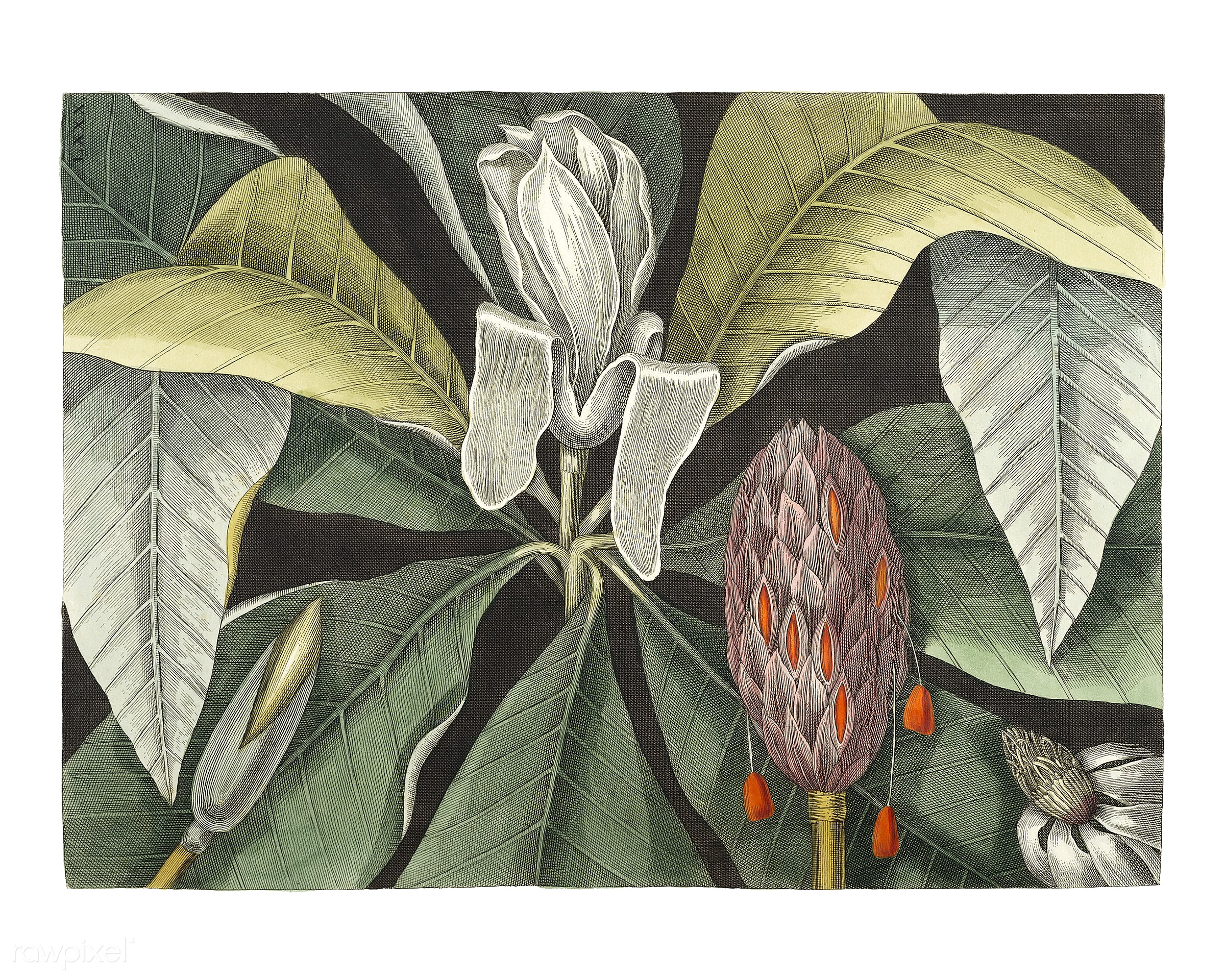 Umbrella Tree (Magnolia) from The natural history of Carolina, Florida, and the Bahama Islands (1754) by Mark Catesby (1683-...