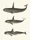 Vintage illustration of Orca or Killer whale (Orca rectipinna, Orca Ater)