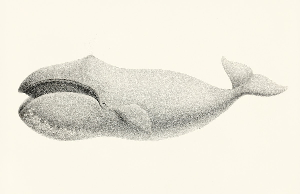 Bowhead whale (Balaena mysticetus) from Natural history of the cetaceans and other marine mammals of the western coast of…